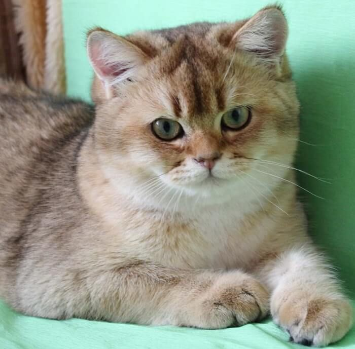 120 British Cat Names | Cat Names | Cat names, Cats, British