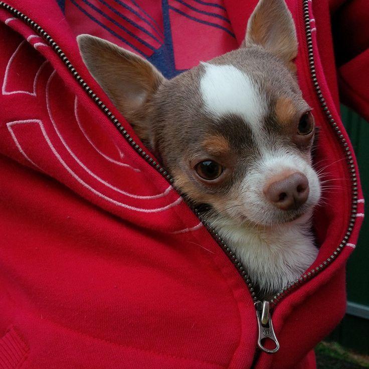 roarforpaws.com Miss flower the Chihuahua <3