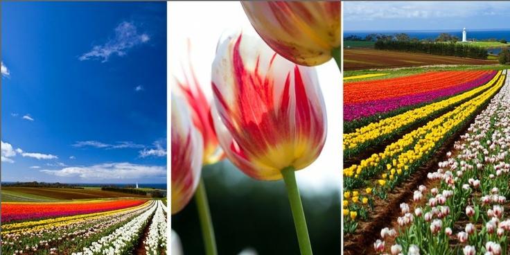 imagine walking through these rows of tulips. #purebliss - Wynard Tulips