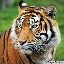 PLEASE HELP SAVE SUMATRAN TIGERS FROM EXTINCTION!