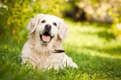 """Cosa è la torsione dello stomaco del cane, sintomi, cura La """"torsione gastrica dello stomaco"""" del cane o GDV (Gastric Dilatation-Volvulus) è dovuta ad un accumulo di aria che gonfia lo stomaco stesso e complice un rigonfiamento della milza, ne provoca la r #cane #alimenticani #veterinario"""