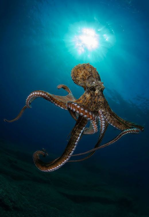 animals octopus national geographic - photo #14