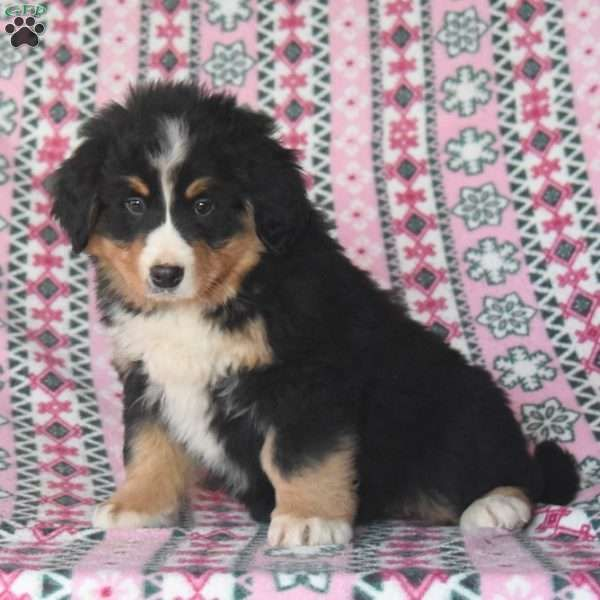 Steve Bernese Mountain Dog Puppy For Sale In Pennsylvania In 2020 St Bernard Dogs Bernese Mountain Dog Mountain Dogs