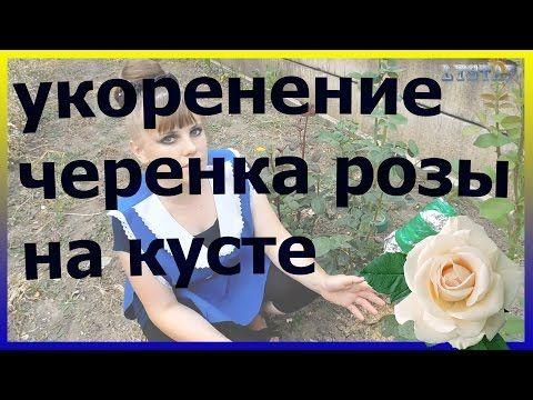 Укореняем черенок розы не срезая с куста. Укоренение черенка розы на кусте. - YouTube