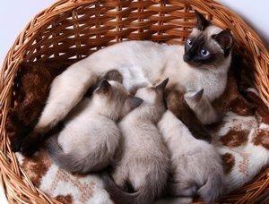 Siamese Kitten Color