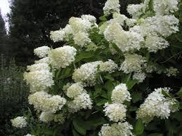 Bildresultat för syrenhortensia grandiflora