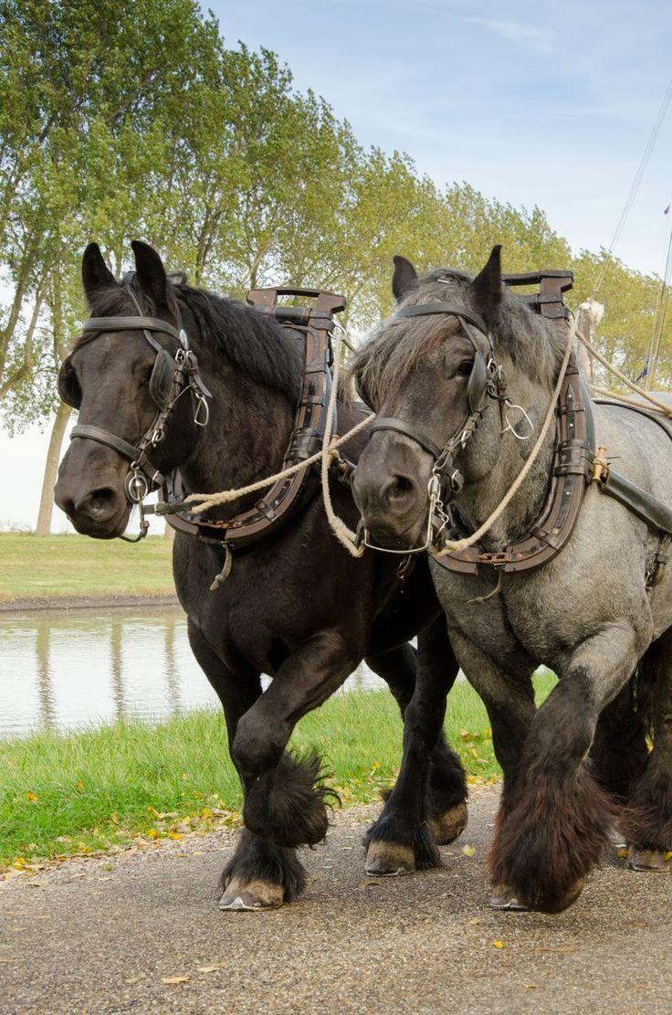 Zeeuwse Trekpaarden, Jaagpad, Goese Sas, Wilhelminadorp, Zeeland.