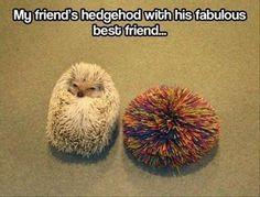 ♥ Pet Hedgehog ♥  funny hegdghog picture