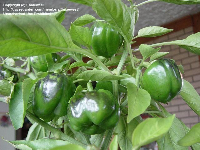 1tsp epsom salts in 4 c warm water....spray on plant and then 10 days later it produces more fruit due to boost of magnesium... especially for tomatoes, peppers and roses.........green bell pepper plants