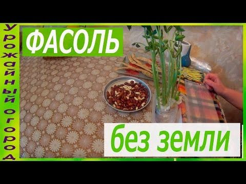 РАССАДА ФАСОЛИ БЕЗ ЗЕМЛИ! - YouTube