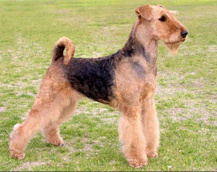 Лекленд-терьер – описание породы, происхождение и темперамент собаки. Некоторые особенности охотничьей породы собак. Фото собак породы Лекленд-терьер.