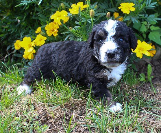 Bernedoodle Bernedoodlepuppy Bernedoodlepuppies Puppy Puppies