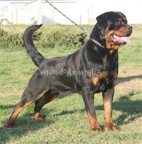 perro de raza rottweiler 52