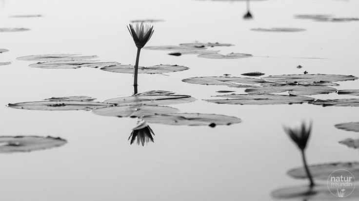 Im Mai war das Okavangodelta voller Seerosen. Wovon es abhängt, in welcher Farbe sie blühen, verrate ich dir in meinem Reisebericht.