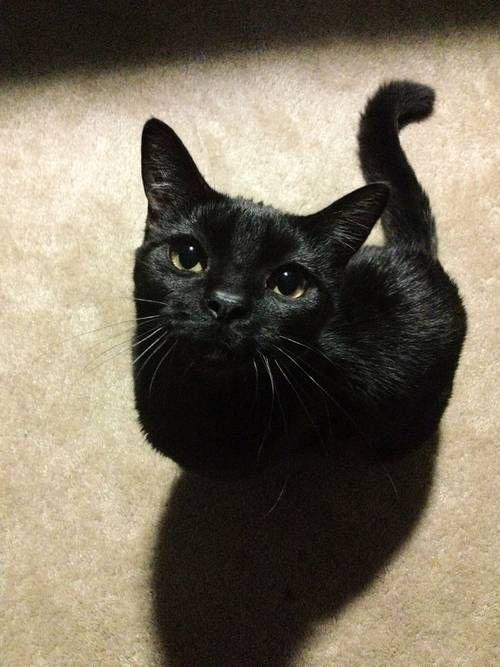 Black Cat Temperments