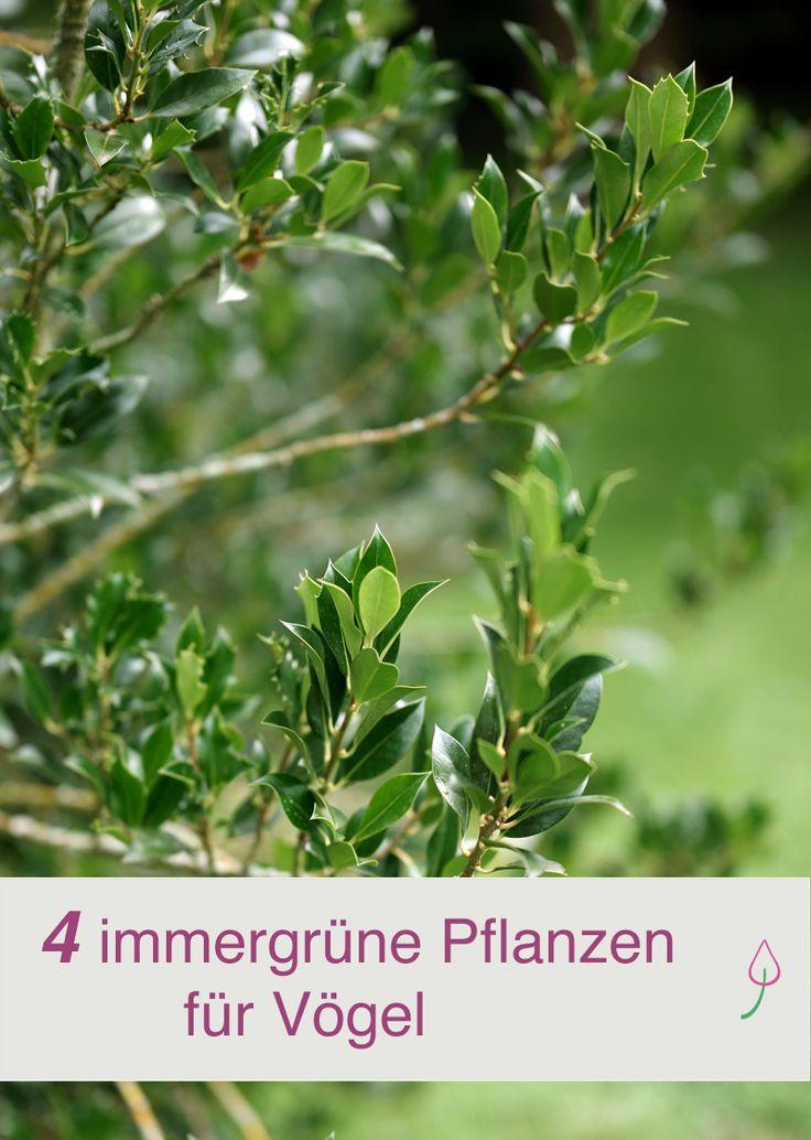 Diese immergrünen Pflanzen bieten nicht nur Sichtschutz im Garten, sondern Vögeln auch Futter.