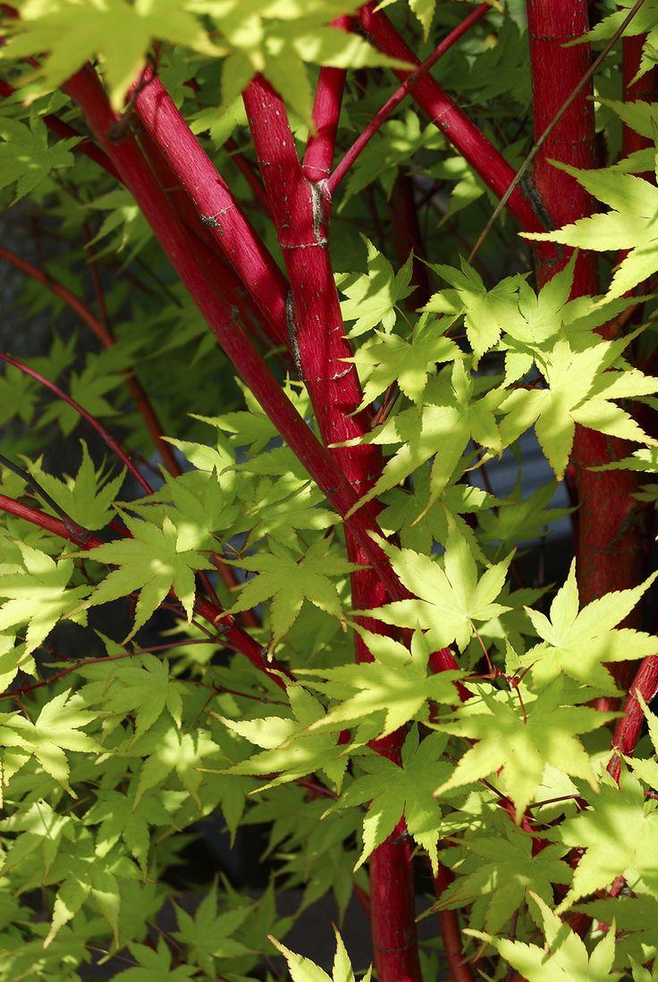 Coral Bark Maple (Acer palmatum 'Sango Kaku')