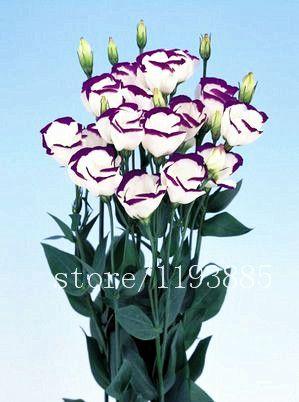 200 шт./упак. фиолетовый эустома Лизиантус семена Редкие семена Семена цветов Бонсай Семена для Дома и Сада