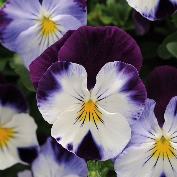 The next generation of trailing pansies!  Beautiful, vigorous plants with a true trailing an spreading habit.  Cool Wave pansies are extremely floriferous and produce beautiful medium sized blooms.  Their excellent overwintering performance makes them an ideal choice for winter baskets and containers - plus they're the first pansies to re-bloom in the spring!  Cool Wave Violet Wing produce a mix of creamy, white flowers with purple wings - the purple blends with the white to different ...