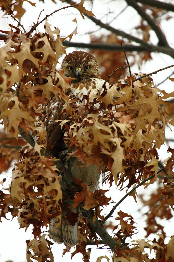 """""""Evolutionary Camouflage"""". Young red-tailed hawk, picture taken by Turly."""
