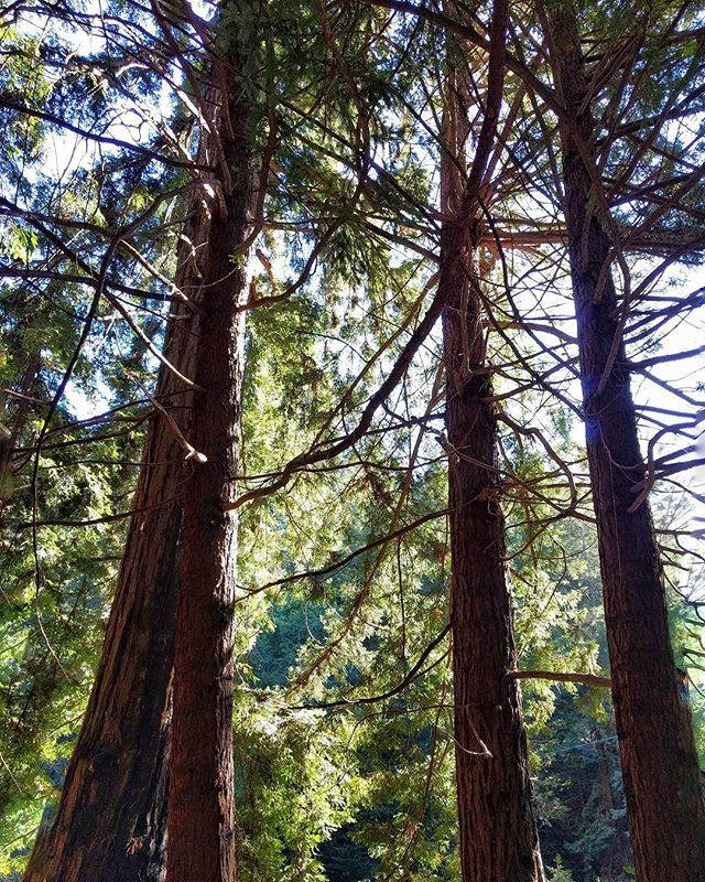 Redwoods bathing in sunlight at the Henry Miller Memorial Library. Don't miss this place when traveling Big Sur! ★★★★★★★★★★★★★★★★★★★★★★★★★★ #california #bigsur #trees #roadtrip #redwoods #rsa_ladies #rsa_outdoors #justgoshoot #exploretocreate #welivetoexplore #weliketotravel #roamtheplanet #wanderlust #igersgermany #discoverearth #passionpassport #traveltheworld #travelstoke #justgoshoot #wanderlust #globophile #postcardsfromtheworld #traveldestinations #getoutside #theworldguru #tree_magic…
