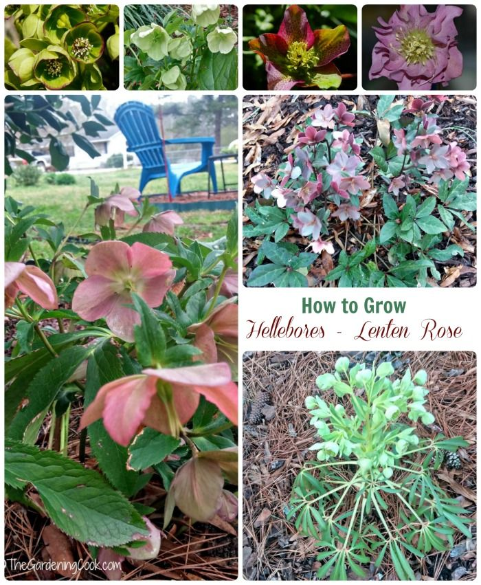 Flowers Grown In Winter: How To Grow Hellebores
