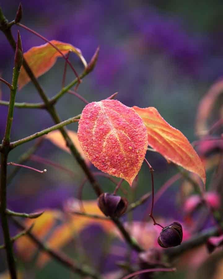 Autumn leaf with dew. Image©K Woodland/K Woodland Photography.