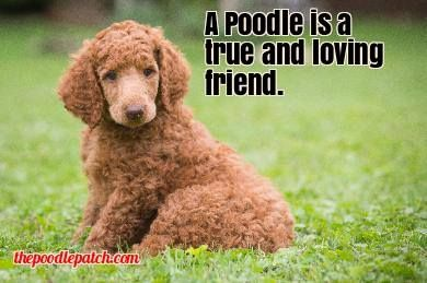 A POODLE IS A TRUE AND LOVING FRIEND