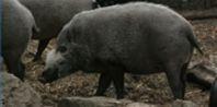 Florida Hog hunting Tips