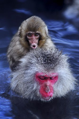 Theses monkeys are amazing. They use the warm water as a kind of spa to get out of the cold