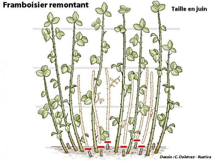 En juin, la taille du framboisier : laisser une quinzaine de brins par mètre linéaire. - C. Delétraz