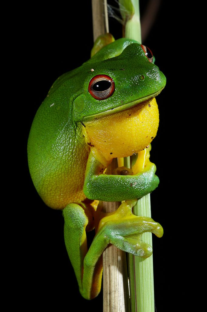 Green and yellow frog