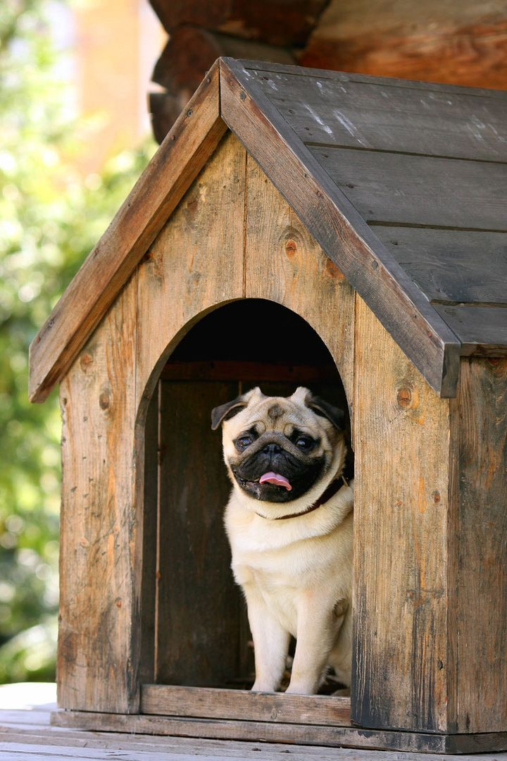 Pug In A Wood Dog House Dog House Dog House Plans Pets