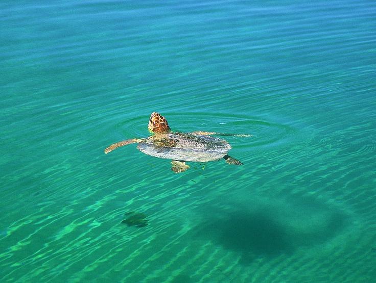 Turtle, Western Australia: Shark Bay