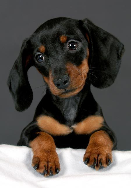 Such a cute little dachshund