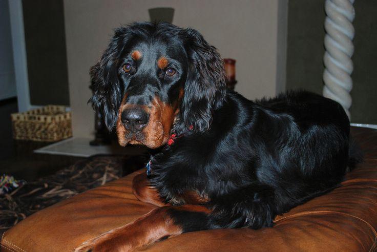 My Gordon Setter, 9 months, Griffin