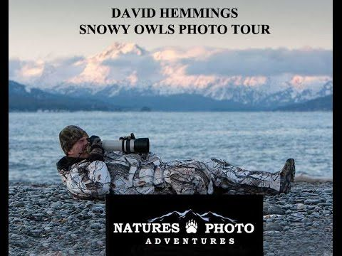 SNOWY OWLS TOUR David Hemmings Natures Photo Adventures
