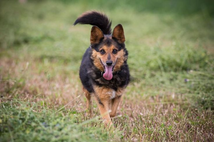 meet turbo an adoptable corgi looking for a forever home