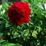 bujorul-paeonia-officinalis-1