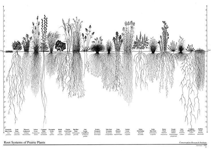 Figure 5-1. Root Systems of Native Plants - graphic showing the root systems of prairie plants