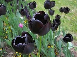 Tulipanes negros...