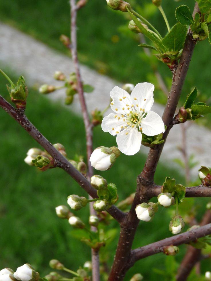 Cherry blossom - photo by Ellerin Eadwine