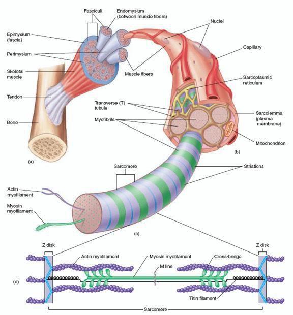 muscle anatomy and sacromeres