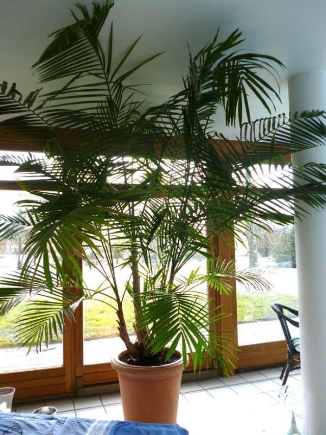 Асаи, или Эвтерпа овощная — капустная пальма. Уход и выращивание в домашних условиях. Фото - Ботаничка.ru