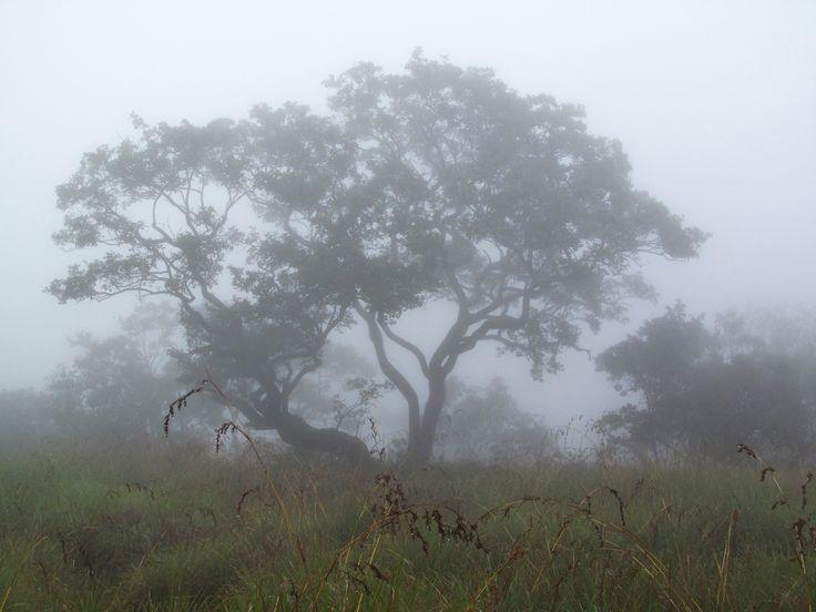 Jungle Tree in mist