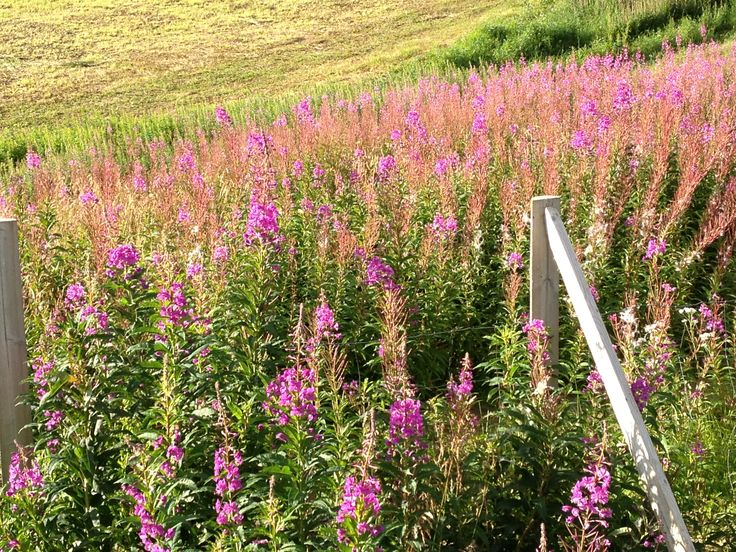 Fireweed, Kautokeino, Norway