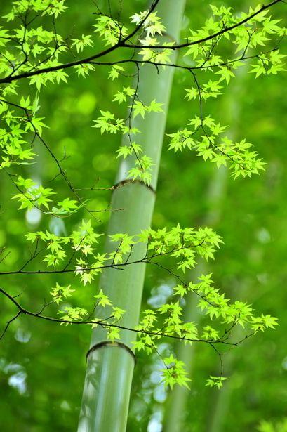 輝き elm and bamboo