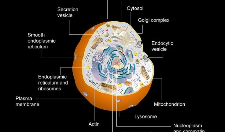 30 Animal Cell Model Diagram And How To Understand Them ...
