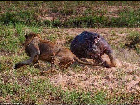 CAMPO DE BATALLA | LEONES VS HIPOPOTAMOS | AFRICA SALVAJE