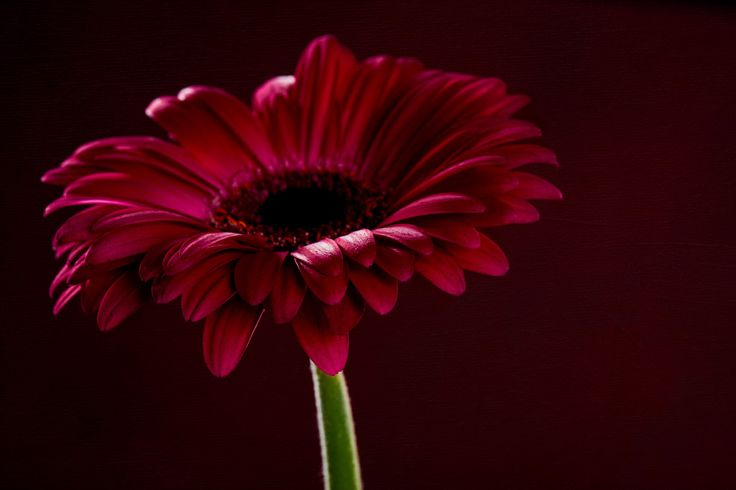 Deep pink Gerbera #flower #gerbera #macrophotography #studio #botanical #pretty